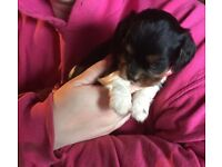 Cavalier King Charles x puppies