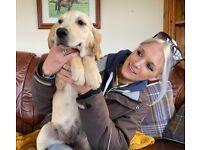 KC golden retriever female puppies