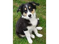 Beautiful border collie puppy's for sale