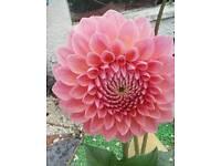 Dahlia deco mix extra large flowers