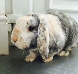 Male Neutered Rabbit £40