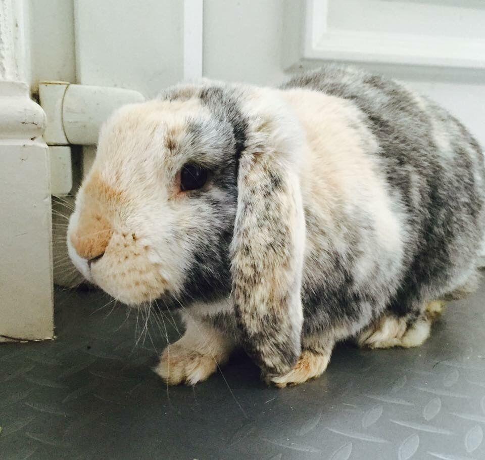 Indoor rabbit for sale £40