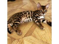 Outstanding Bengal Kittens