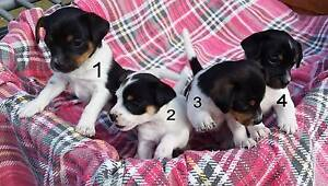 Lucky last puppy - Foxy, Chihuahua, Jack Russell cross male Allora Southern Downs Preview