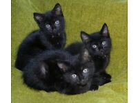 3 kittens for sale 12 weeks old