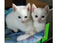 Only 1 adorable white bsh mix kittens left for sale (Please Read the ad before contacting me)