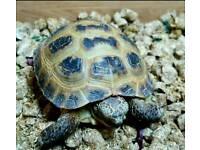 Lovely Horsefield Tortoise for sale