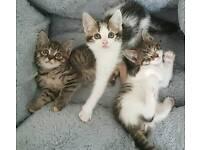 Stunning Tabby Kittens