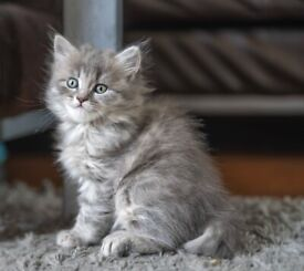 Two Maine coon cross kittens
