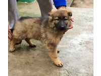 German shepherd Male pup for sale vacc and chipped