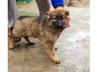 German shepherd pup fully vacc & chipped
