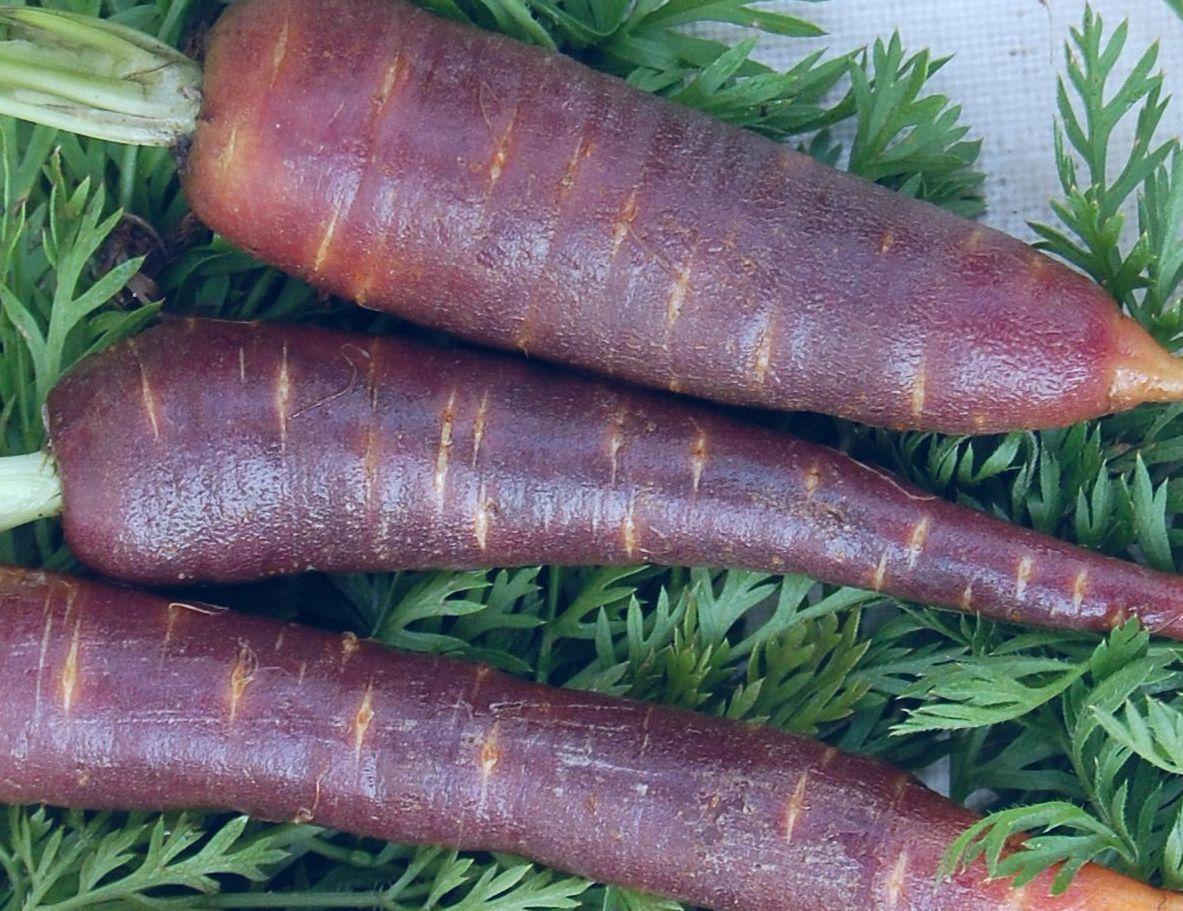 🥕 100 Samen Möhre Purple Dragon Karotte Daucus carota Möhren Karotten