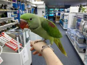 Hand Reared SUPER Tame Baby Parrots HUGE Variety