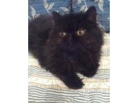 Black Persian Boy Kitten