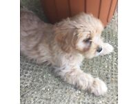 Cavapoo | Dogs & Puppies for Sale - Gumtree