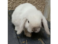 purebred blue point mini lop doe