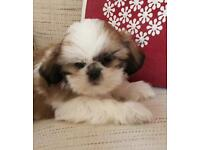 Special Shihtzu shih tzu puppies, pedigree shitzu pups 8
