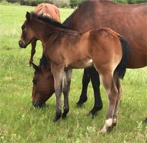 2018 AQHA Pending Filly
