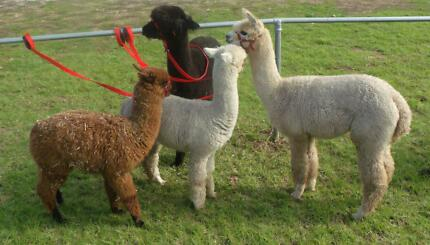 ALPACAS, WETHERS, HERD GUARDS AND BREEDING STOCK FROM $400 Lewiston Mallala Area Preview