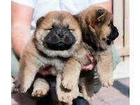 Two males left Kc Chow chow puppies