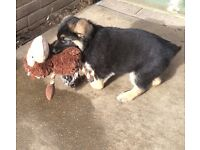 Lovely GSD puppies