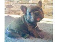 Quality french bulldog pups blue and tan