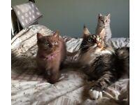 Stunnig British Shorthair kittens