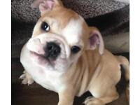 English Bulldog Dogs Puppies For Sale Gumtree