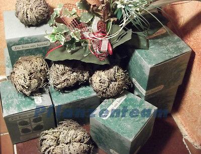Rose von Jericho Größe XL in der Geschenkbox - 2 Stück online kaufen