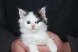 Male & Female Fluffy Kittens Tunnack Southern Midlands Preview
