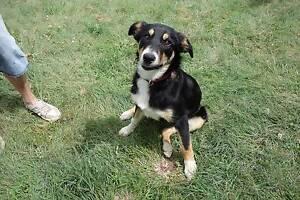 Collie/Kelpie pup for sale Tenterfield Tenterfield Area Preview
