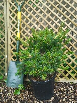 Pinus parviflora Linda 'Japanese White Pine' 5 litre pot
