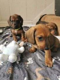 Gorgeous dachshund puppies