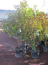 EVERGREEN MAGNOLIAS Many different varieties. Start @ $19.90 each Heatherton Kingston Area Preview