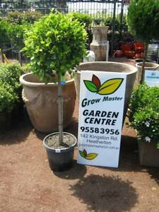 Standard Ficus. Prices start at $69.90. Hardy plant. Heatherton Kingston Area Preview