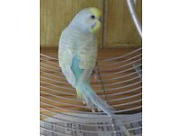 pet bird with cage £40