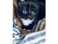Lovely blue eye kitten !