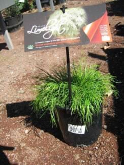 Grasses, Liriopes, Cordylines, Lomandras, Mondo, Kangaroo Paws.. Heatherton Kingston Area Preview
