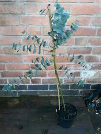 Eucalyptus gunnii 'Azura' / Azura cider gum