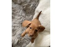 Miniature dachshund puppies 8 weeks old now - energising