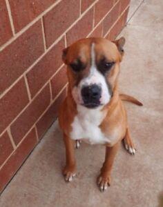 Staffy In Perth Region Wa Dogs Puppies Gumtree Australia Free Local Classifieds