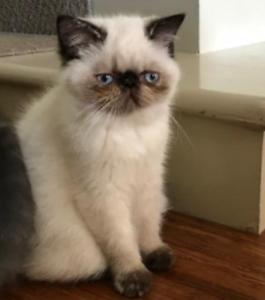 Female Purebred Exotic Shorthair Kitten for sale (QFA 1251 )