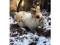 Medium sized Cross SUPER friendly Rabbit