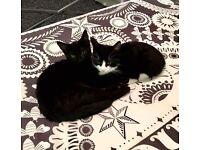 2 Beautiful female Kittens