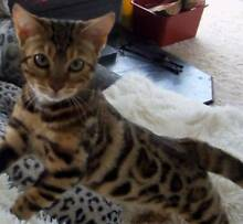 Pedigree Brown Bengal Kitten Swan Hill Swan Hill Area Preview