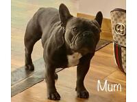 French Bulldog Cross American XL Bully Puppies