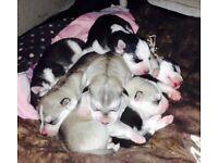 Husky puppies black white an gray £650.00 cream £800.00