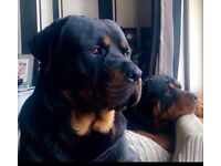 KC REGISTERED ROTTWEILER PUPS