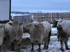 Registered Purebred Charolais Bulls for Sale