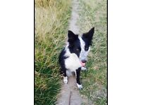 lookinf to regime our border collie Poppy!